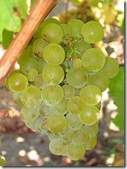 220px-Sauvignon_blanc_grapes